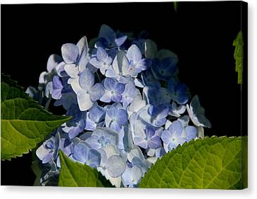 Hydrangea In The Morning Canvas Print