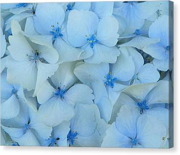 Hydrangeas Hortensias Canvas Print by Sandra Lira