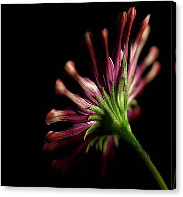 I Bloom Canvas Print by Davor Sintic