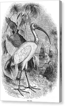 Ibis Canvas Print by Granger