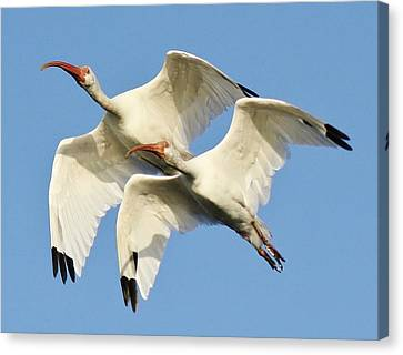 Ibis In Flight Canvas Print by Paulette Thomas