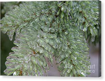 Ice-coated Norway Spruce Canvas Print by Ted Kinsman