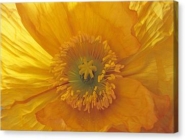 Canvas Print featuring the photograph Iceland Poppy 4 by Susan Rovira