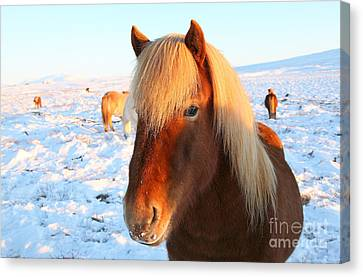 Icelandic Horse Canvas Print by Milena Boeva
