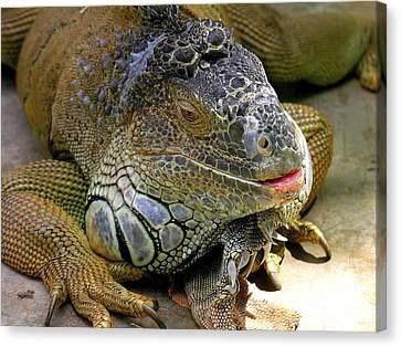Iguana Iguana Canvas Print by Anne Gordon