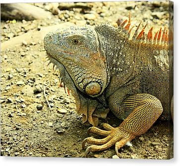 Canvas Print featuring the photograph Iguana by Nick Mares