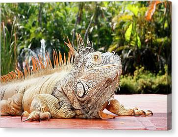 Iguana Canvas Print by Showing the world ..