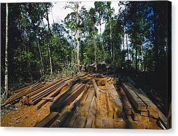 Illegal Logging Site, Felled Trees Canvas Print by Tim Laman