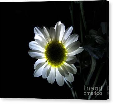 Illuminated Daisy Photograph Canvas Print