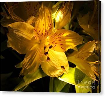 Illuminated Yellow Alstromeria Photograph Canvas Print