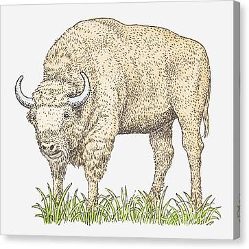 Illustration Of A Bison Canvas Print by Dorling Kindersley