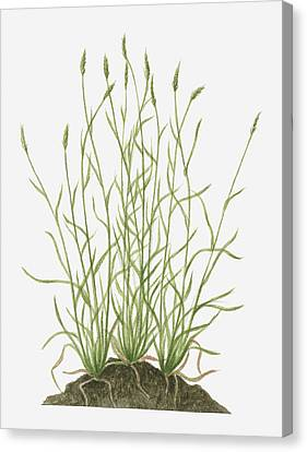 Y120907 Canvas Print - Illustration Of Anthoxanthum Odoratum (sweet Vernal Grass) Wild Grass With Flower Spikes Growing On Mound by Valerie Price