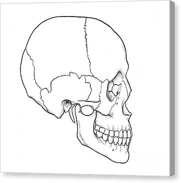 Illustration Of Human Skull Canvas Print by Science Source
