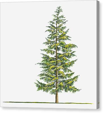 Y120907 Canvas Print - Illustration Of Large Evergreen Tsuga Heterophylla (western Hemlock) Tree by Sue Oldfield