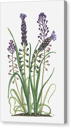 Illustration Of Leopoldia Comosa Syn Muscari Comosum (tassel Hyacinth) Bearing Violet-blue Flowers And Buds On Tall Stems And Long Green Leaves Canvas Print by Barbara Walker