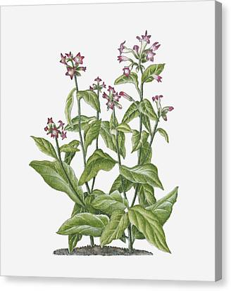 Nicotiana Tabacum Canvas Print - Illustration Of Nicotiana Tabacum (tobacco) Bearing Pink-white Flowers On Long Stems With Green Leaves by Ruth Hall