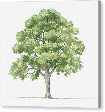 Y120907 Canvas Print - Illustration Showing Shape Of Quercus Ilex (holm Oak) Tree Bearing Green Foliage by Dorling Kindersley