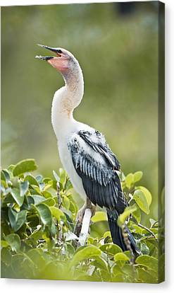 Immature Anhinga Canvas Print by Patrick M Lynch