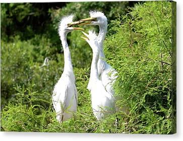 Immature Egrets Canvas Print