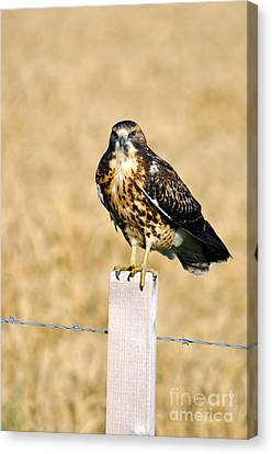 Immature Swainson's Hawk Canvas Print by Laura Mountainspring