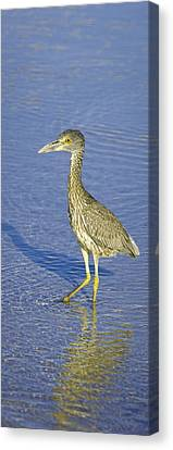 Immature Yellow Crowned Night Heron  Canvas Print by Patrick M Lynch