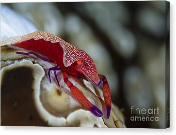 Imperator Commensal Shrimp On Eyed Sea Canvas Print by Todd Winner