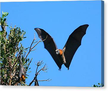 Incoming - Grey-headed Flying Fox Canvas Print