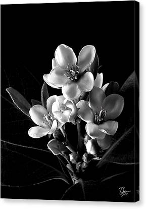 Indian Hawthorn In Black And White Canvas Print