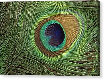 Indian Peafowl Pavo Cristatus Display Canvas Print by Gerry Ellis