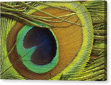 Indian Peafowl Pavo Cristatus Male Canvas Print by Gerry Ellis