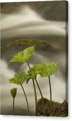Indian Rhubarb Darmera Peltata Growing Canvas Print by Phil Schermeister