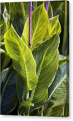 Indian Shot Plant (canna 'striata') Canvas Print by Dr Keith Wheeler