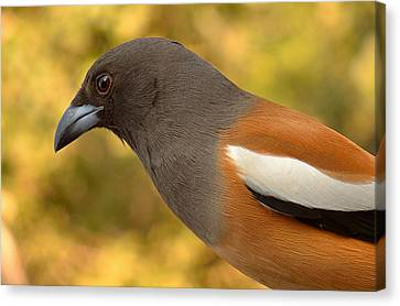 Indian Treepie. A Portrait. Canvas Print by Fotosas Photography