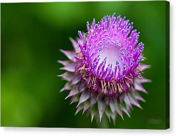 Indiana Purple Thistle Flower Canvas Print by Melissa Wyatt