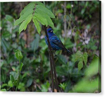Indigo Bunting Surprise Canvas Print by Mary Zeman