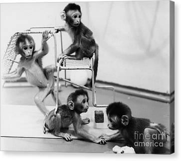 Infant Monkeys At Play Canvas Print