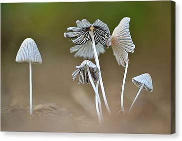Canvas Print featuring the photograph Ink-cap Mushrooms by JD Grimes