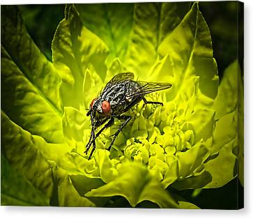 Insect Up Close - Summer Fly Sunbathing On A Yellow Perennial Garden Plant - Macro Photography Canvas Print by Chantal PhotoPix