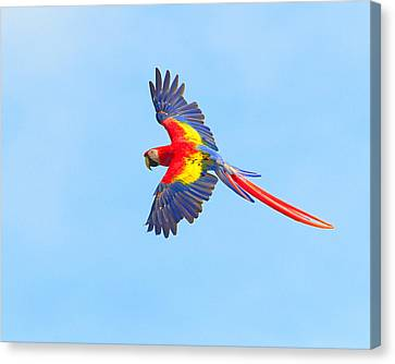 Macaw Canvas Print - Into The Blue by Tony Beck