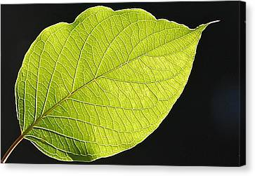 Intricacies Of A Leaf Canvas Print by Mary McAvoy