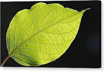 Intricacies Of A Leaf Canvas Print