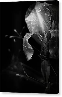 Iris Adorned Canvas Print