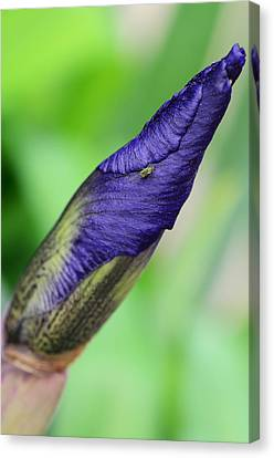 Iris And Friend Canvas Print by Lisa Phillips