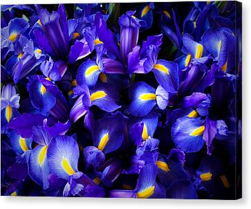 Iris Canvas Print by Lynn Wohlers