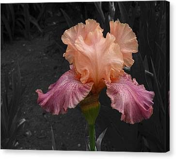 Canvas Print featuring the photograph Iris2 by David Pantuso