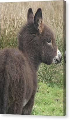 Irish Donkey Foal Canvas Print by Joseph Doyle