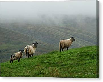 Irish Sheep In The Mist Canvas Print