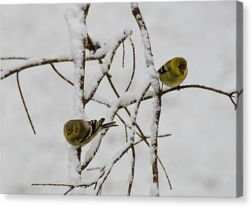 Finch Canvas Print - Is It Snowing On Your Side by LeeAnn McLaneGoetz McLaneGoetzStudioLLCcom