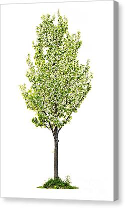Isolated Flowering Pear Tree Canvas Print by Elena Elisseeva