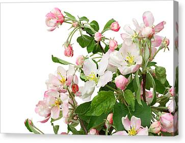 Canvas Print featuring the photograph Isolated Pink Apple Flowers by Aleksandr Volkov